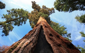 Picture forest, summer, the sky, tree, trunk, bark, Sequoia