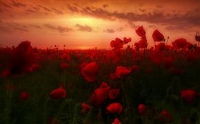 Picture dawn, Maki, dawn, poppies, poppy field, poppy field
