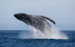 Picture ocean, splash, jumping, whale, humpback