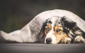 Picture portrait, dog, blanket, lies, Wallpaper from lolita777, Aussie