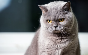 Picture cat, eyes, cat, mustache, look, grey, background, portrait, sitting, attention, mordaha, British, yellow eyes