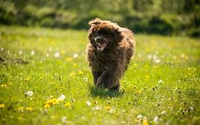 Wallpaper dog, summer, field