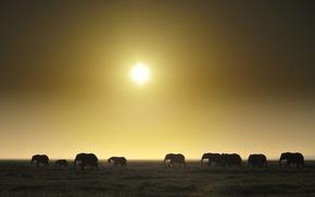 Picture field, sunset, horizon, elephants, the herd, wildlife