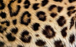Picture texture, wool, spot, leopard, fur