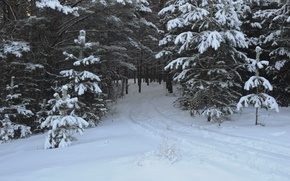 Picture forest, snow, trees, traces, Winter, frost, track, forest, trees, nature, winter, snow, path, frost