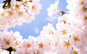 Picture flowers, cherry, branch, spring, petals, Sakura, flowering