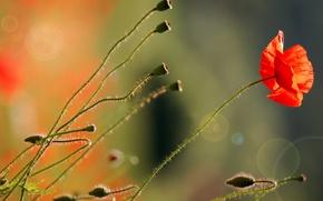 Picture flower, macro, light, flowers, red, nature, glare, Mac, stems
