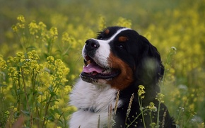 Picture face, joy, flowers, dog, Bernese mountain dog