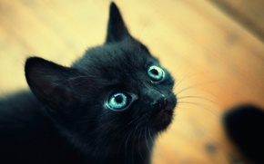 Picture eyes, macro, kitty, black, small, blue, muzzle