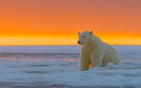 Picture sunset, Alaska, Polar bear, ice desert, The Arctic national reserve