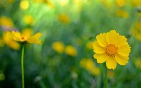 Picture flowers, background, yellow, kosmeya
