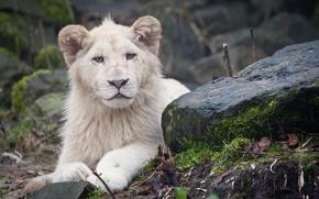 Picture stones, predator, Leo