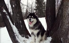 Picture Malamute, Alaskan Malamute, Yakut, sled dogs, snow carrousel jackpot