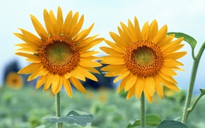Picture field, the sky, leaves, sunflowers, Wallpaper, petals, stem, pair