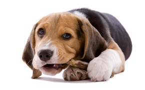 Picture dog, puppy, white background, cub, Beagle