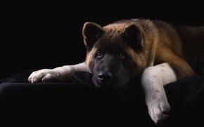 Picture sadness, face, portrait, dog, American Akita