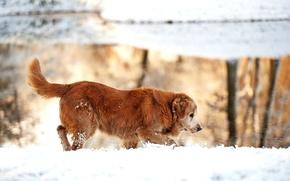 Picture winter, snow, nature, lake, dog, Golden, Retriever