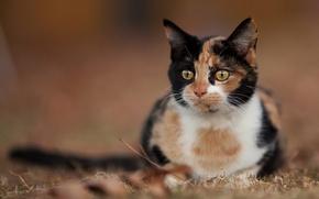 Wallpaper cat, cat, look