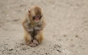 Wallpaper Little, Sleeping, Monkey