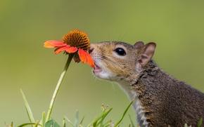 Picture gaylardiya, curiosity, protein, animal, flower