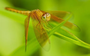 Wallpaper dragonfly, grass, wings, insect, nature