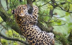 Picture cat, branches, leopard, cub, kitty, pine, Amur, ©Tambako The Jaguar