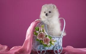 Wallpaper white, flowers, stroller, puppy, fabric, Spitz