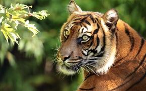Picture face, tiger, portrait, predator, branch, Sumatran tiger