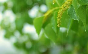 Wallpaper greens, summer, leaves, drops, macro, sprig, rain, green