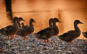 Picture nature, duck, Animals
