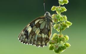 Picture macro, butterfly, Mastropasqua Galatea