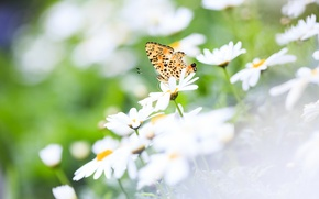 Picture summer, flowers, nature, butterfly, chamomile, wings, focus