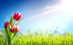 Wallpaper grass, the sun, flowers, spring, tulips
