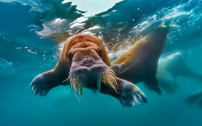 Picture water, walrus, tusks, The Arctic ocean
