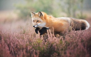 Picture field, flowers, jump, Fox