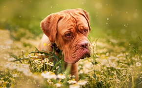 Wallpaper dog, animal, flowers, nature, dog, chamomile, dog, grass, Dogue de Bordeaux