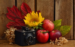 Picture leaves, apples, sunflower, the camera