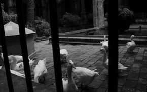 Picture Italy, black and white, geese, behind bars