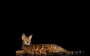 Picture cat, lies, black background, spotted, Bengal cat, Bengal