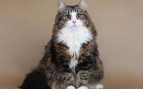 Picture cat, Siberian cat, Demi Moore SARIOLA