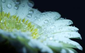 Picture flower, water, drops, Rosa, petals