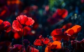 Picture flowers, glade, bright, Maki, meadow, al, poppy field, Wallpaper from lolita777