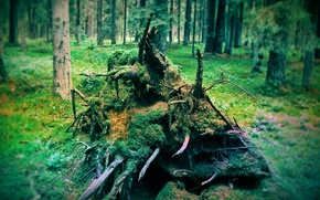 Picture forest, trees, nature, roots, spruce