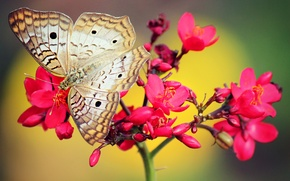 Picture red, pink, butterfly, Flower
