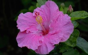 Picture macro, pink, hibiscus
