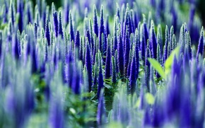 Picture field, macro, flowers, nature, Veronica, blue