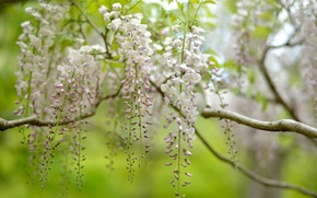 Picture nature, tree, inflorescence, Wisteria