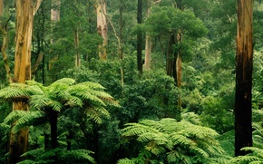 Wallpaper Sherbrooke, Victoria, trees, leaves, Australia, fern, thickets, forest