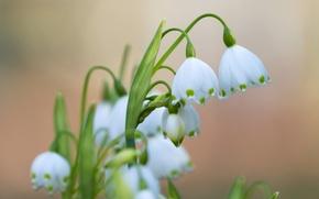 Picture macro, spring, primrose, snowflake
