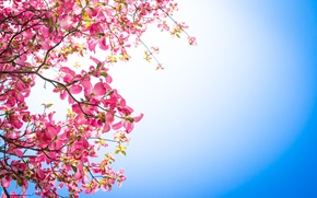 Picture flowers, background, branch, pink, dogwood